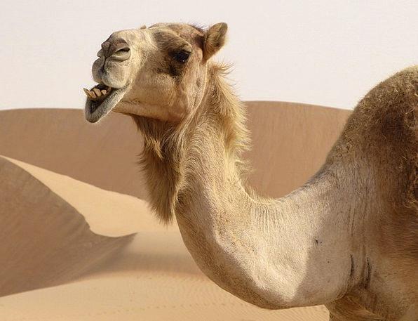 Dromedary Beige Desert Reward Camel