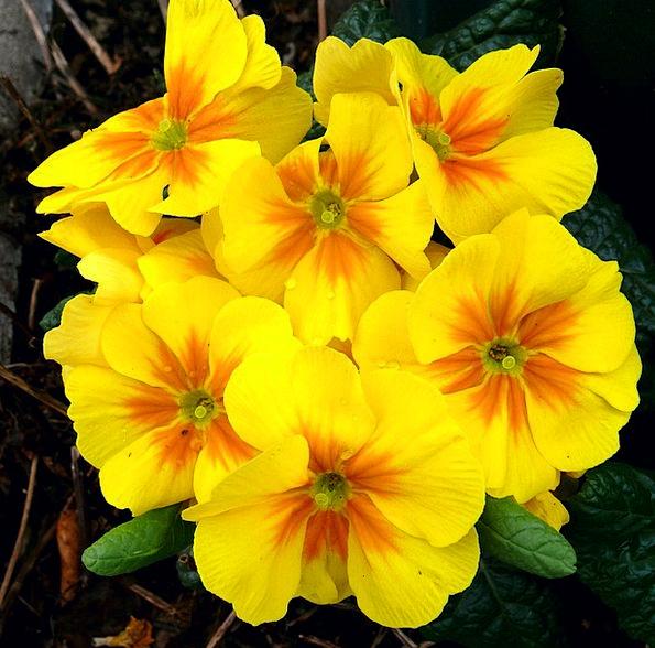 Primroses Coil Yellow Creamy Spring Flowers Plants