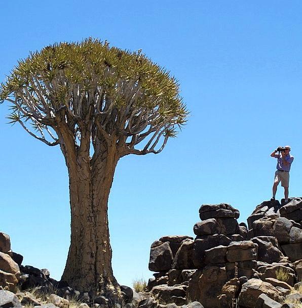 Quiver Tree Africa Namibia Tree Sapling Exotic Unu