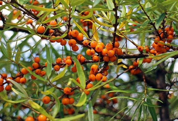 Sea Buckthorn Ovaries Berries Fruits Hedge Orange