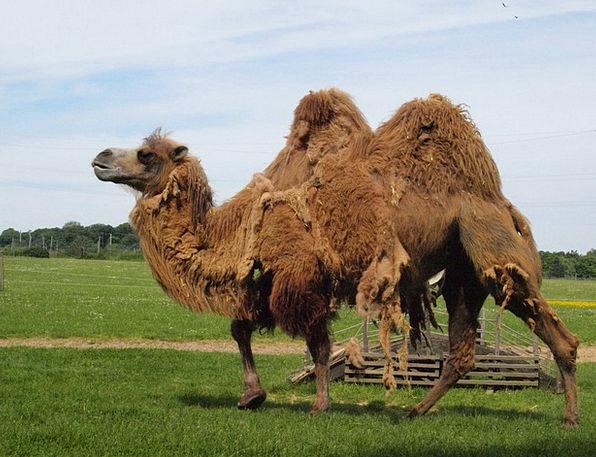 Camel Beige Flaking Summer Coat Shedding Mammal Cr