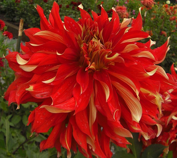 Dahlia Floret Red Bloodshot Flower Petals Blooming