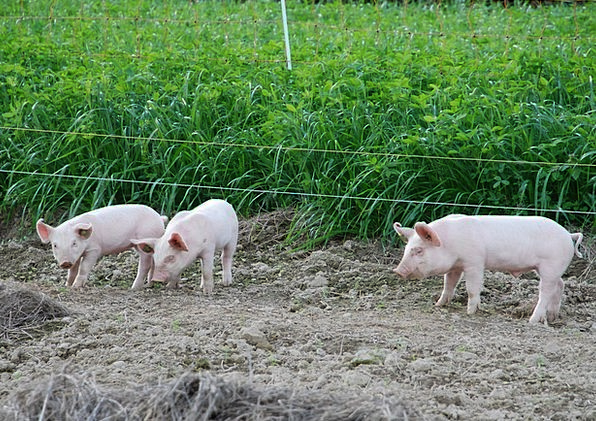 Piglet Cattle Cute Attractive Pigs Lucky Pig Sweet
