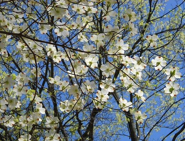 Cornus Florida Blossoms Flowers Dogwood Spring Coi