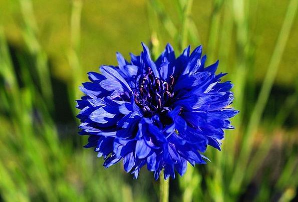 Cornflower Floret Blue Azure Flower Centaurea Cyan