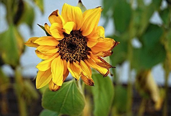 Sunflower Floret Yellow Creamy Flower Damaged By F