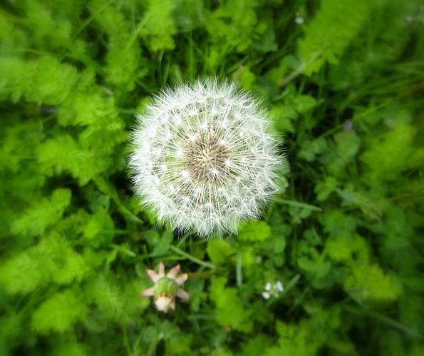 Dandelion Wildflower Flower Floret Weed Puffy Swol