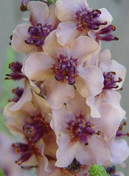 Flower Floret Landscapes Flushed Nature Verbascum