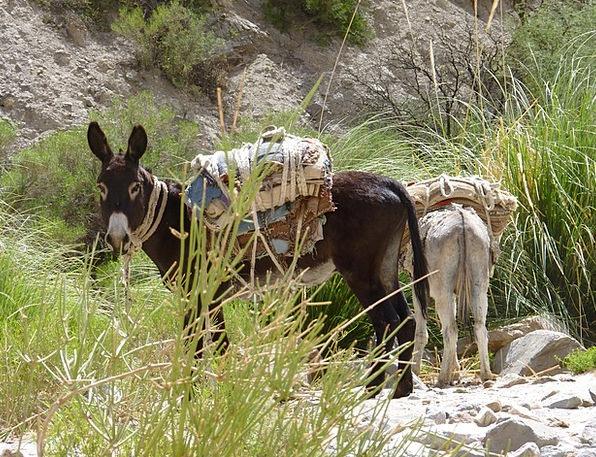 Donkey Animal Physical Argentina Domestic Zoology