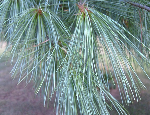 Pine Long Landscapes Pointers Nature Tree Sapling