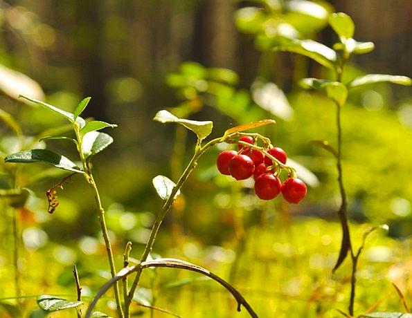 Berry Landscapes Crimson Nature Red Bloodshot Cran