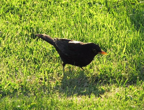 Blackbird Fowl Black Bird Bird Nature Countryside