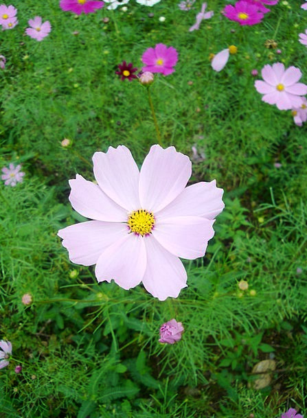 Cosmos Universe Fall Pink Flushed Autumn