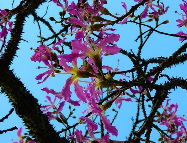 Kapok Tree Pochote Ceiba Pentandra Tribe People Pr