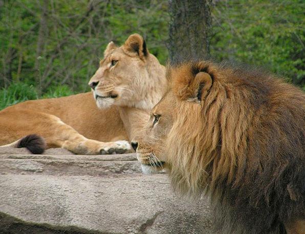 Lions Wild Rough Leo Pittsburgh Cat Head Wildlife