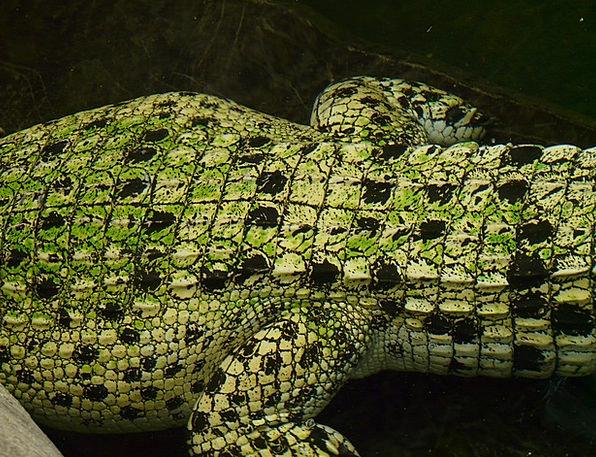 Saltwater Crocodile Line Reptile Crocodile Animal