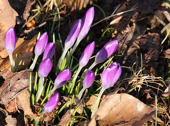 Crocus Mauve Spring Coil Violet Daybreak Dawn