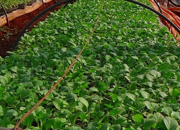 Seedlings Sprouts Nursery Plant sales outlet Brinj