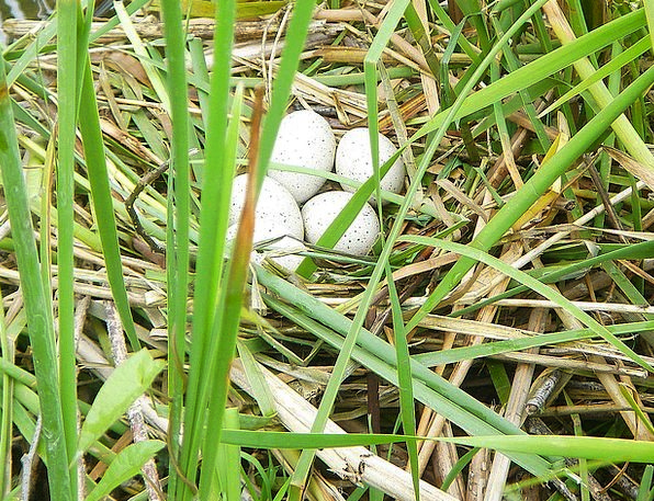 Eggs Spawns Shell Water Bird Nest Shelter Housing