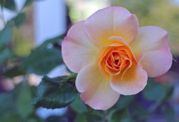 Rose Design Floret Rose Bloom Flower Multi Coloure
