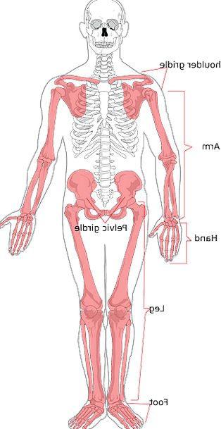 skeleton minimum humanoid diagram drawing human os