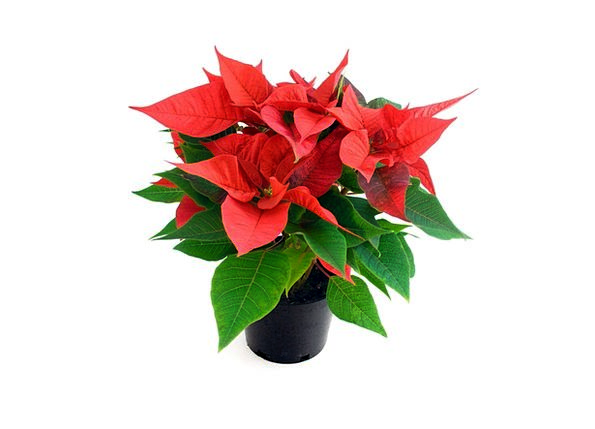 Flower Floret Xmas Christmas Rose Design Leaves Ho