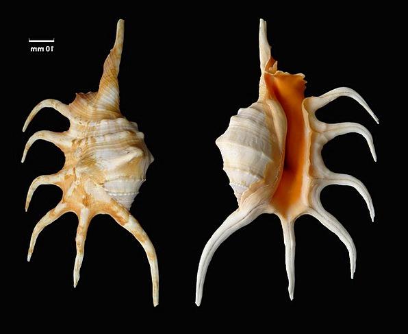 Shell Bomb Lambis Crocata Knobbed Conch Snail Shel