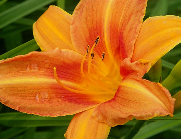 Daylily Landscapes Vegetable Nature Orange Carroty