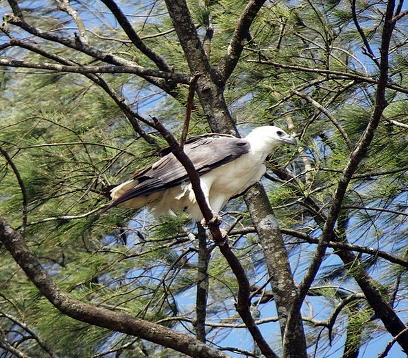 White-Bellied Marine Eagle Sea Bird Fowl Bird Of P