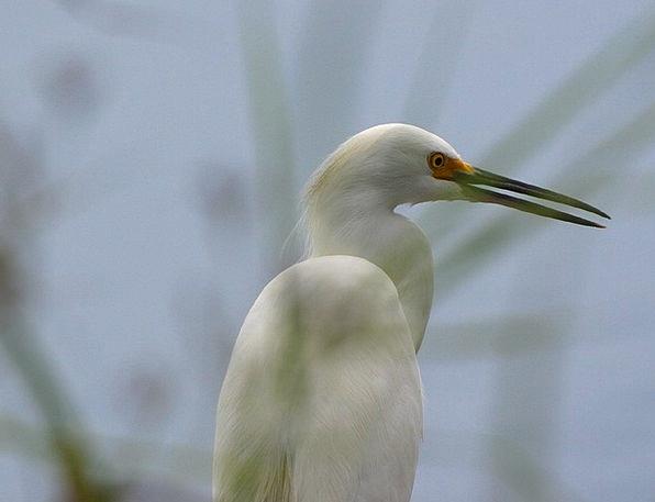 Heron Landscapes Snowy Nature Bill Beak White Wild