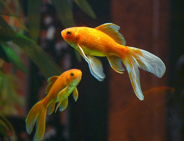 Common Goldfish - Tips and Characteristics