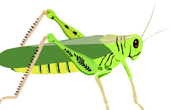 Grasshopper Bug Hop Flight Insect Invertebrate Jum