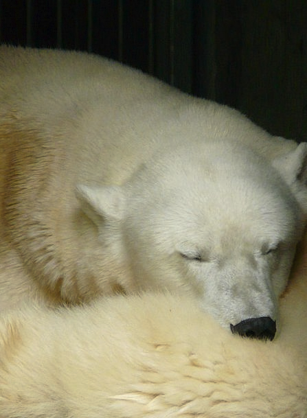 Polar Bear Hair Sleep Slumber Fur Rest Break White