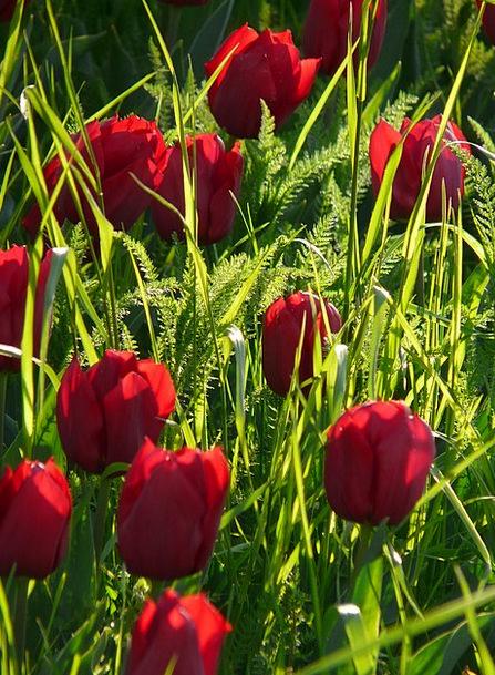 Tulip Field Purple Elaborate Tulips Back Light Tai