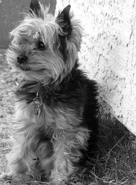 Yorkie Dog Terrier Pet Domesticated Black Canine P