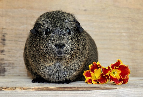 Guinea Pig Physical Cute Attractive Animal Rodent