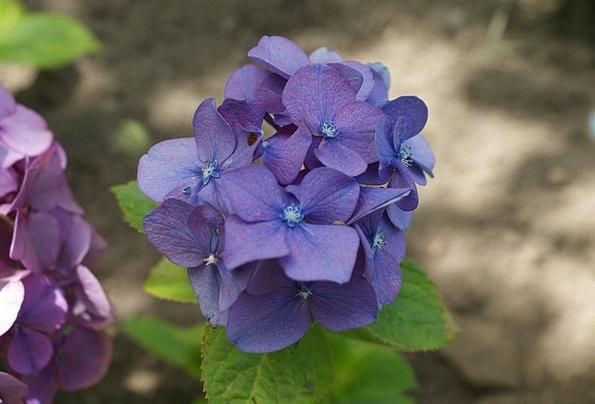 Hortensia Floret Garden Plot Flower