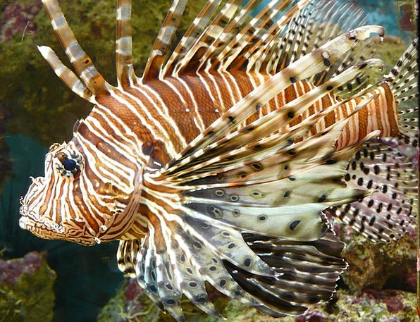 Lionfish Angle Pacific Rotfeuerfisch Fish Toy Pter