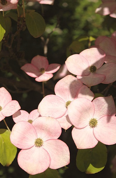 Pink Dogwood Landscapes Nature Woody Plant Dogwood