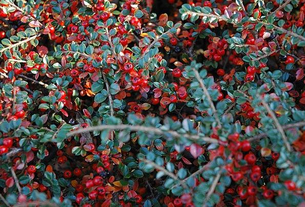 Berries Landscapes Nature Cotoneaster Autumn Berry