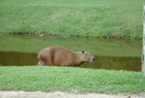 Capivara Aquatic Animal Brazil