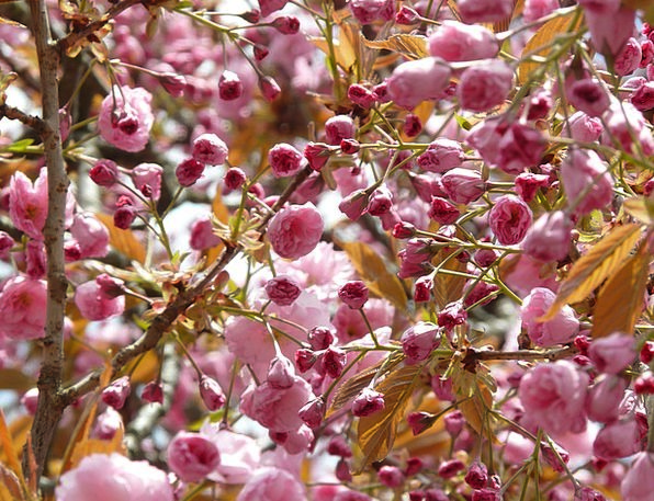 Japanese Cherry Trees Ornamental Cherry Japanese F