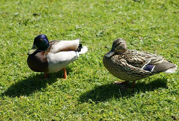 Mallards Birds Landscapes Dears Nature Drake Ducks