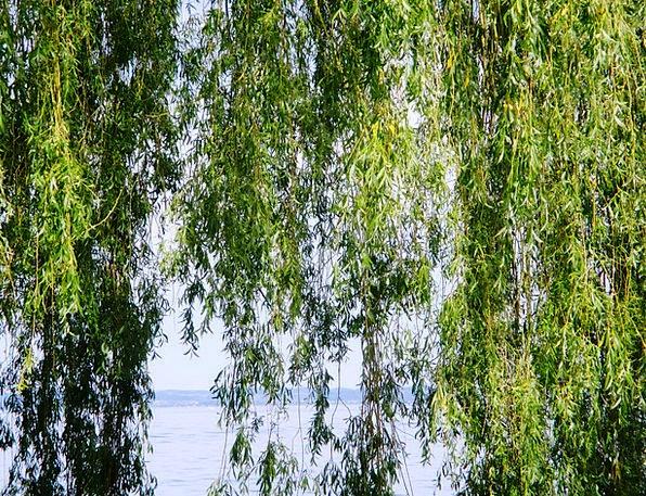 Weeping Willow Sapling Leaves Greeneries Tree Wate