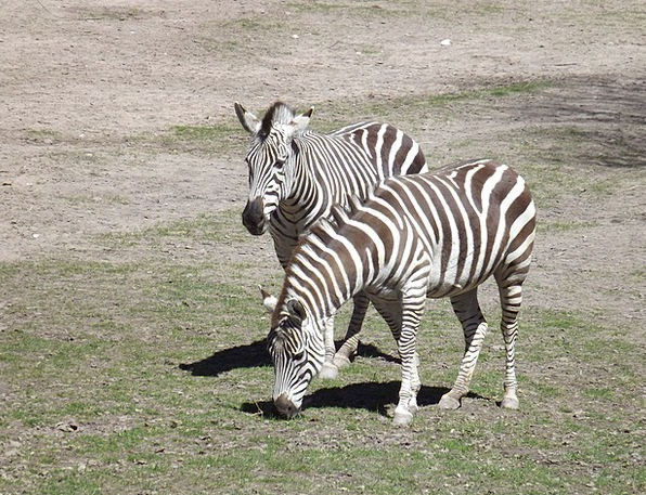 Animals Faunae Stripes Strips Zebra Fur Zebra Cros