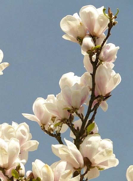 Magnolia Landscapes Decorative Nature Bush Scrubla