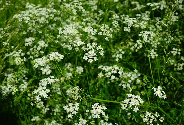 Pointed-Chervil Plants White Snowy Flowers Apiacea