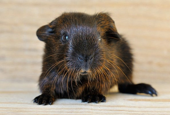 Guinea Pig Smooth Hair Young Animal Gold Agouti Sw