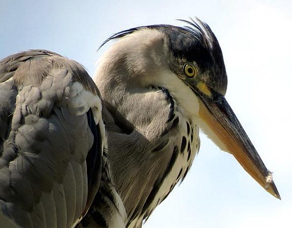 Heron Fowl Animal Physical Bird Nature Countryside