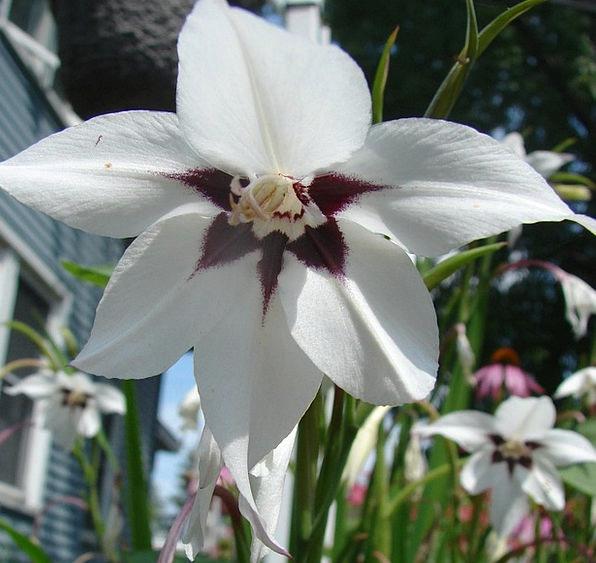Peacock Orchid Flower Floret Orchid Bloom Petals S